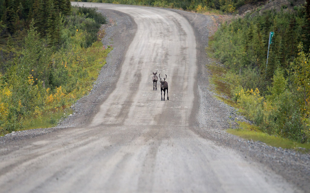 Caribou in the road