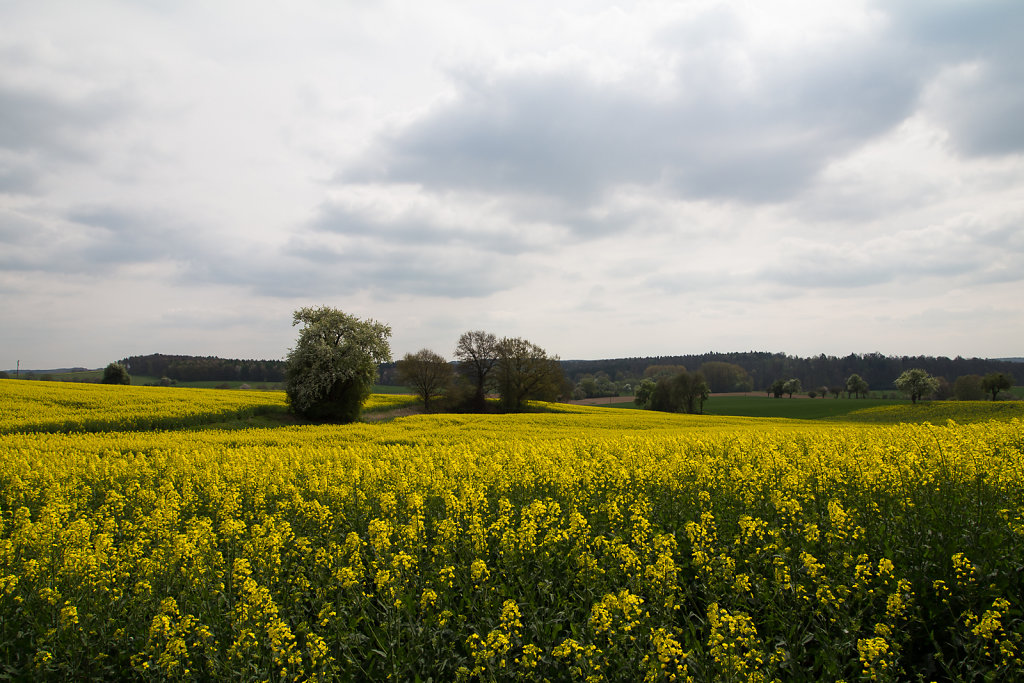 Rapeseed fields in spring